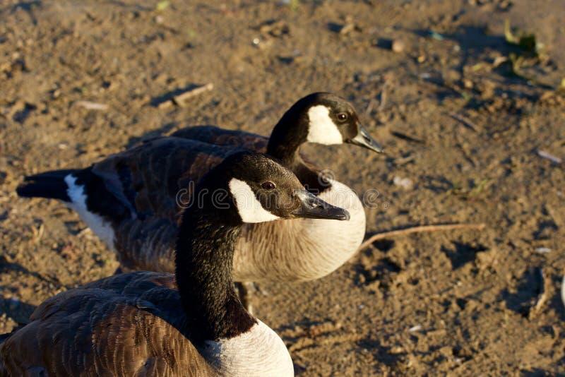 Primer de dos gansos jovenes hermosos de Canadá foto de archivo libre de regalías