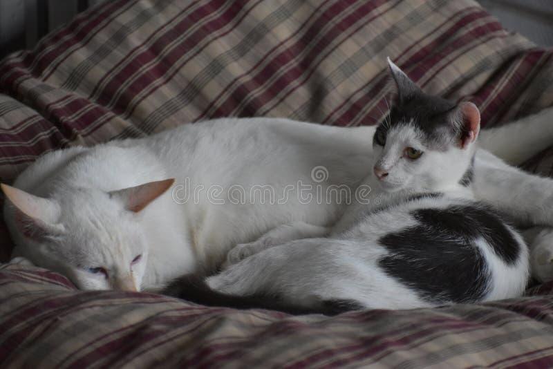 Primer de dos gatos que duermen en una almohada imagen de archivo libre de regalías