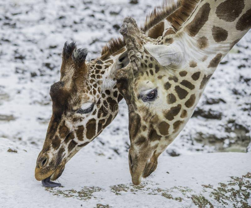 Primer de dos jirafas que comen nieve imagen de archivo libre de regalías