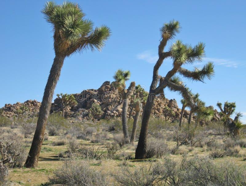 Primer de dos yucas de baile en paisaje del desierto con formaciones de roca antiguas en fondo foto de archivo