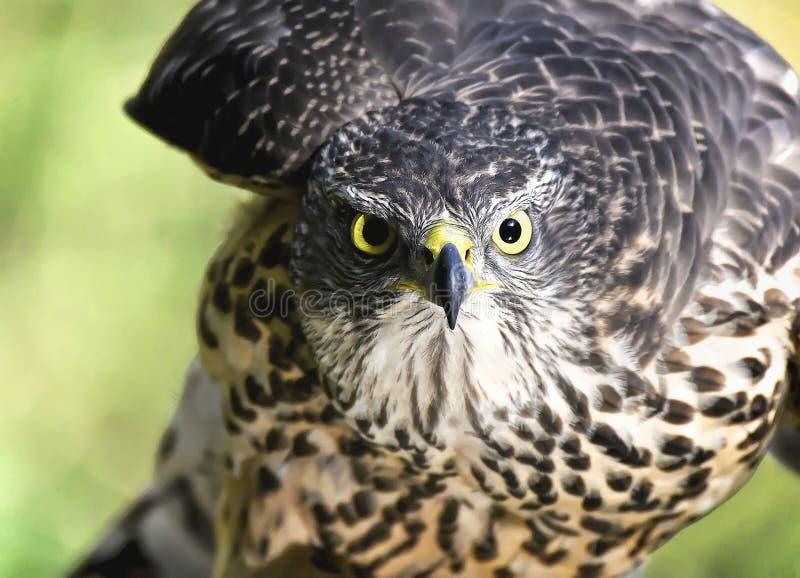Primer de Eagle fotos de archivo