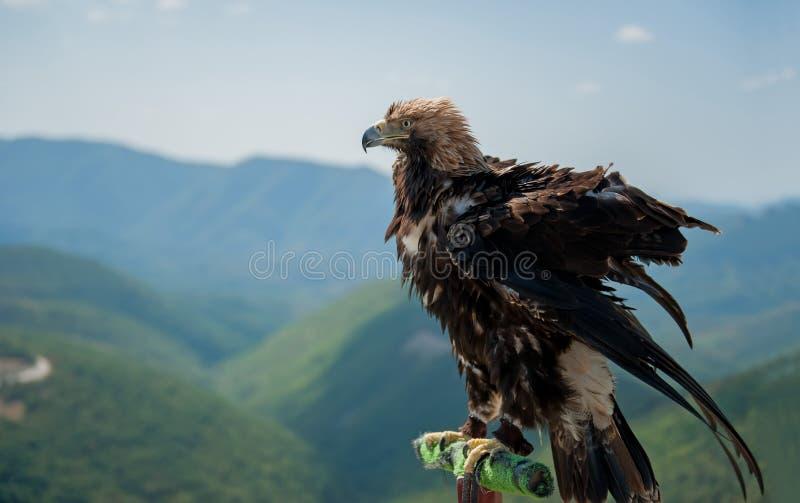 Primer de Eagle que se sienta en polos sobre un paisaje de la montaña que intenta sacar imágenes de archivo libres de regalías