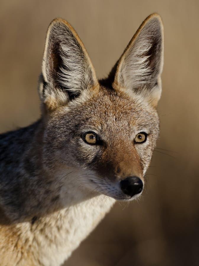 Primer de espalda negra del chacal, Namibia fotografía de archivo libre de regalías