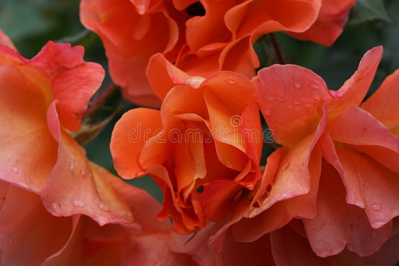 Primer de flores anaranjadas brillantes complejas en la inflorescencia r fotografía de archivo libre de regalías