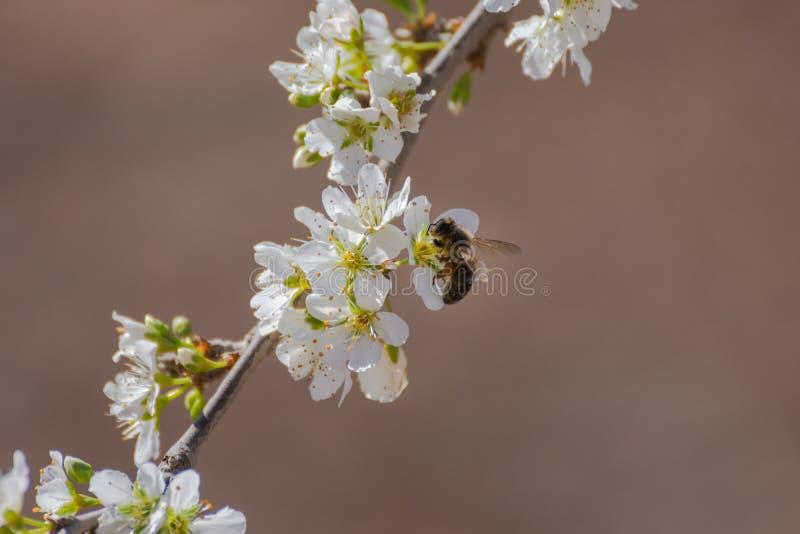 Primer de flores blancos del ciruelo y de una abeja que recoge el polen Fondo t?pico de la primavera imágenes de archivo libres de regalías