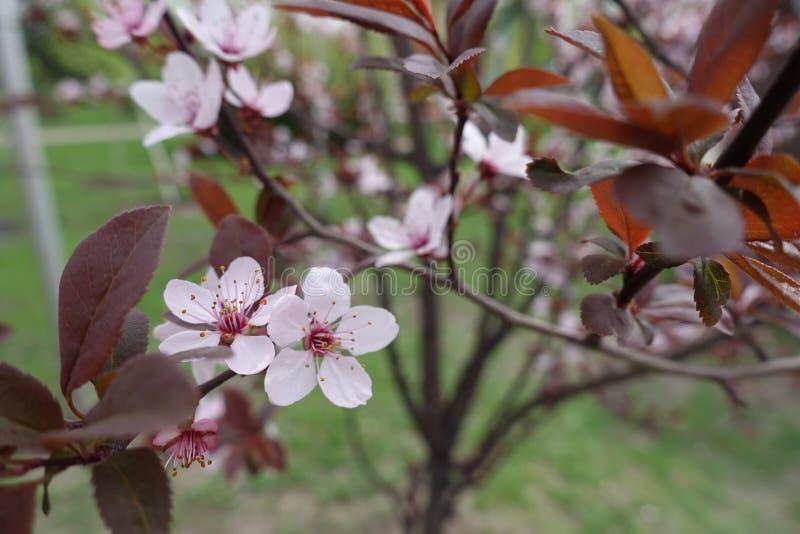 Primer de flores rosadas en la rama del pissardii del Prunus en primavera imagen de archivo libre de regalías