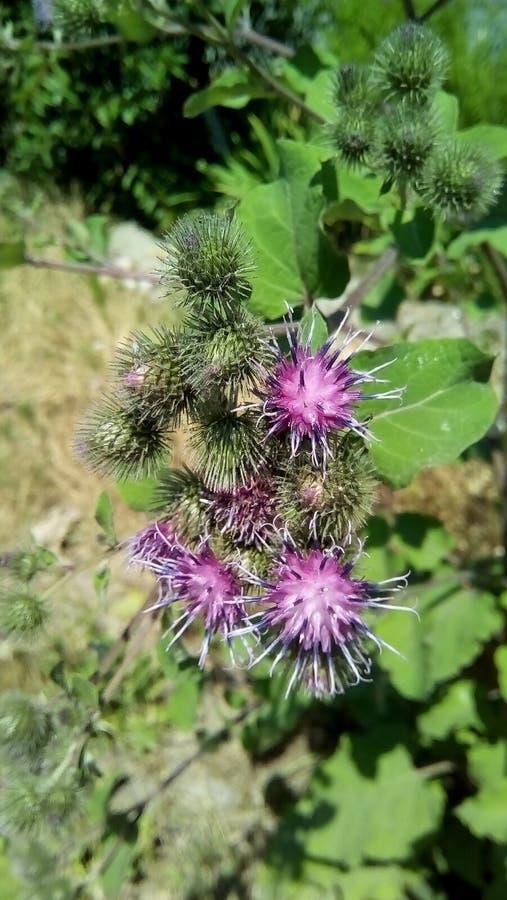Primer de flores y de brotes de la bardana en el fondo del verde foto de archivo libre de regalías