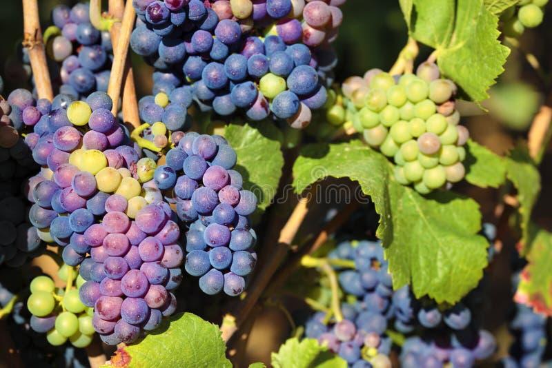 Primer de Francia del viñedo de Borgoña de las uvas de vino rojo de Pinot Noir imagen de archivo