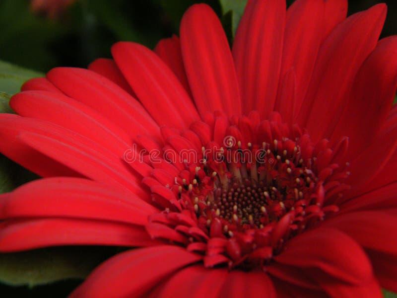 Primer de Gerber rojo Daisy Flower Blossom Bloom Petal foto de archivo