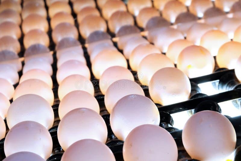 Primer de huevos en una banda transportadora en una arcón retroiluminada especial a comprobar para saber si hay grietas micro en  imagen de archivo