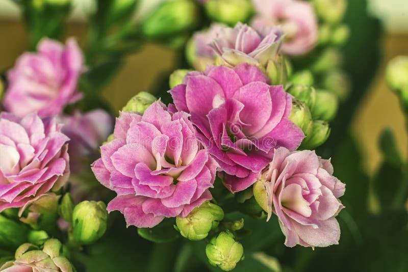 Primer de Kalanchoe de las flores El género de plantas suculentas del imagenes de archivo