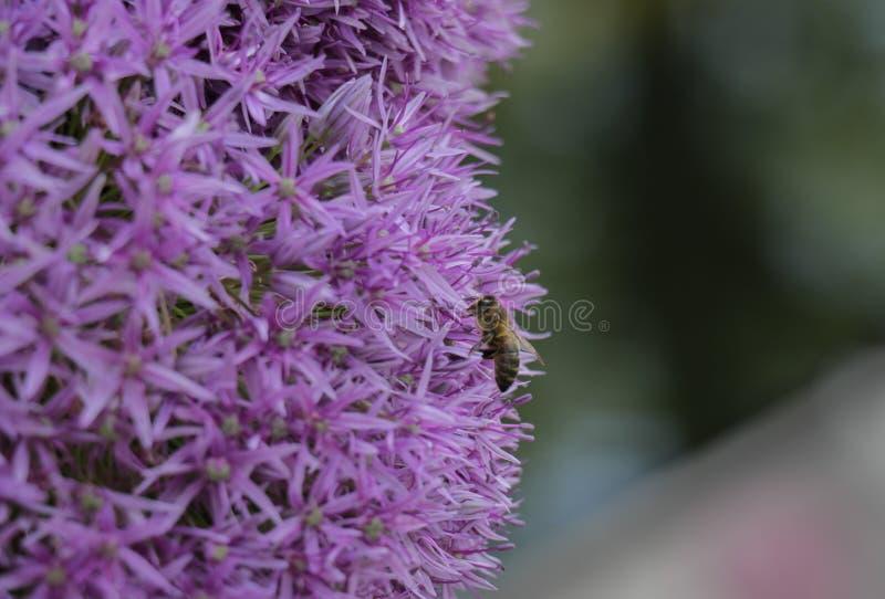 Primer de la abeja que poliniza las flores asteroides púrpuras imágenes de archivo libres de regalías