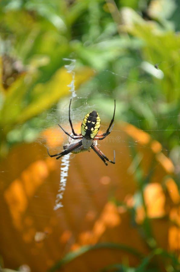 Primer de la araña de la cremallera en web en remiendo de la calabaza imágenes de archivo libres de regalías