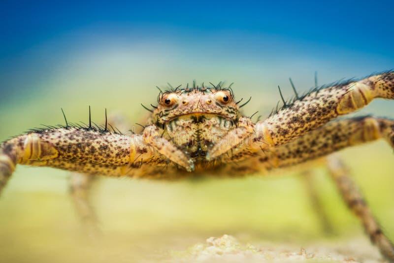 Primer de la araña del cangrejo imagenes de archivo