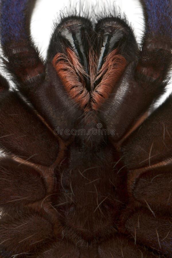 Primer de la araña del Tarantula foto de archivo
