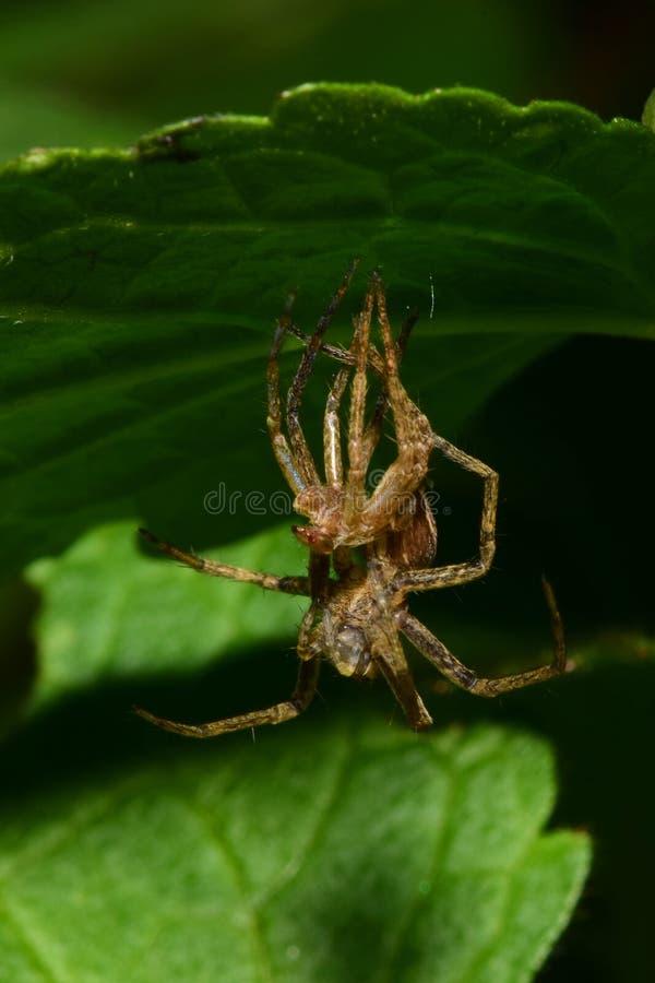Primer de la araña de Solpuga del caucásico que muda debajo de una hoja verde imagenes de archivo