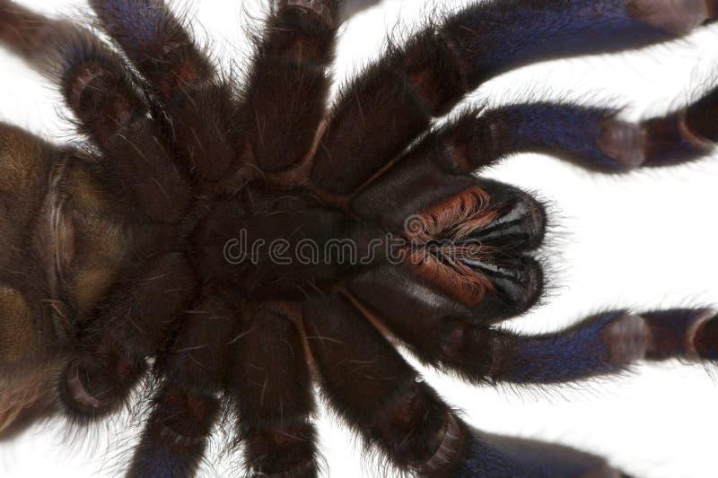 Primer de la araña de la tarántula, Poecilotheria Metallica imagen de archivo libre de regalías