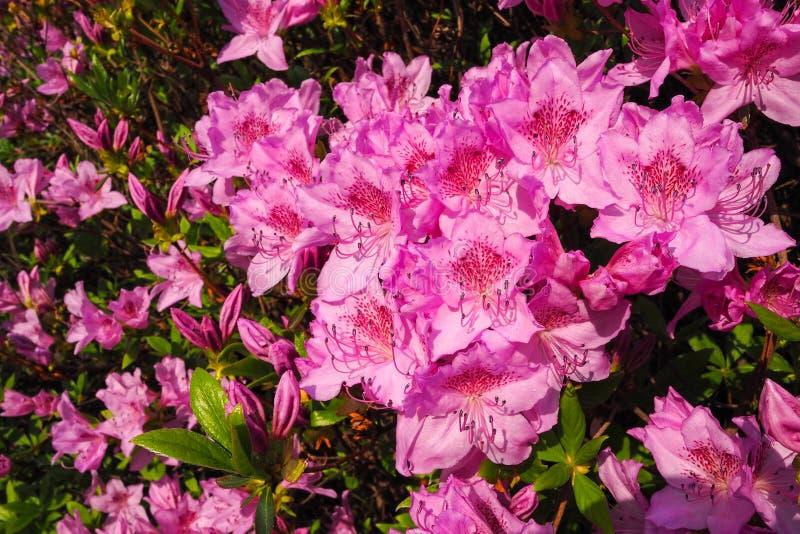 Primer de la azalea púrpura del esplendor foto de archivo libre de regalías