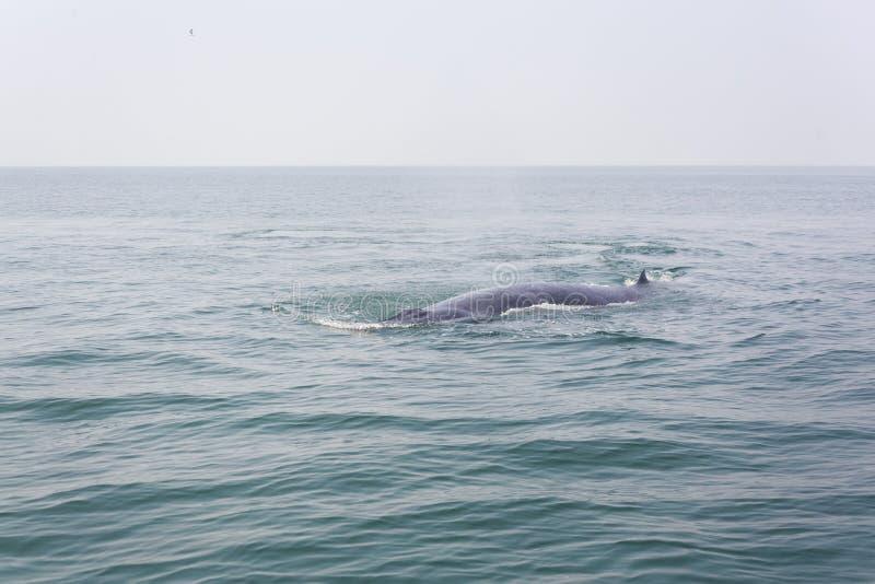 Primer de la ballena de Bryde imágenes de archivo libres de regalías