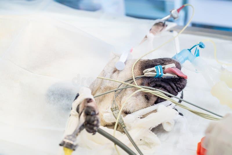Primer de la cabeza anestesiada del ` s del perro durante cirugía foto de archivo libre de regalías