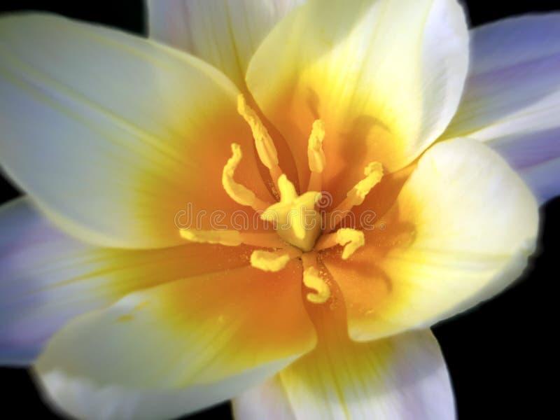 Primer de la cabeza de flor blanca foto de archivo