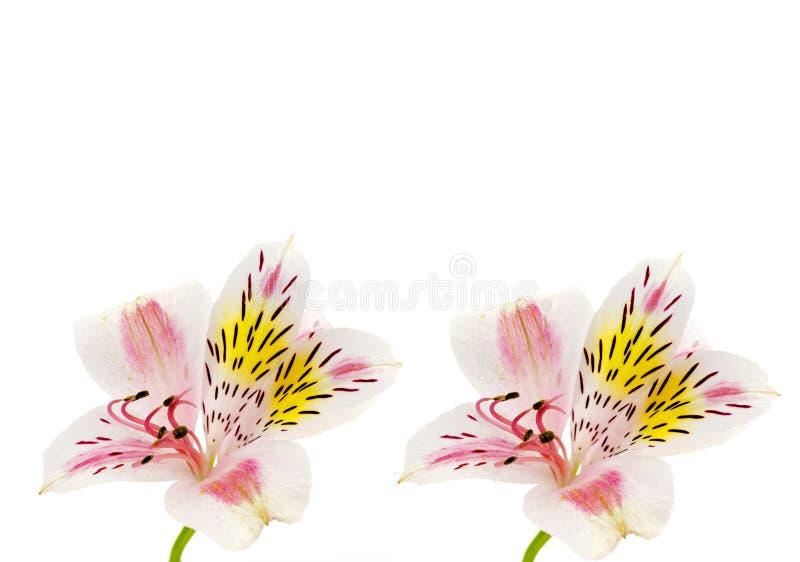 Primer de la cabeza de flor del Alstroemeria aislado fotografía de archivo libre de regalías