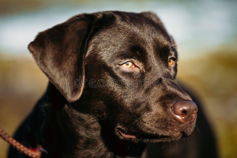 Primer de la cabeza de perro hermosa de Brown, hocico del laboratorio imagen de archivo libre de regalías
