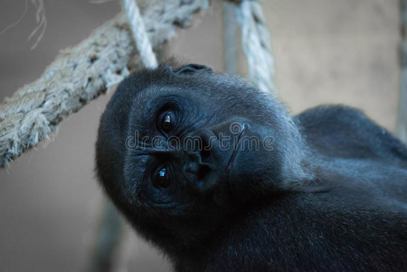 Primer de la cabeza del gorila en hamaca de la cuerda foto de archivo