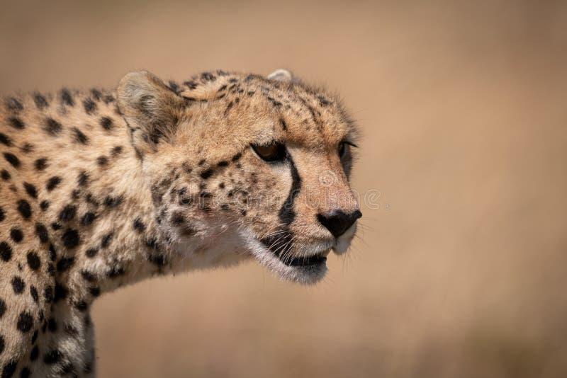 Primer de la cabeza del guepardo con la cara sangrienta fotos de archivo