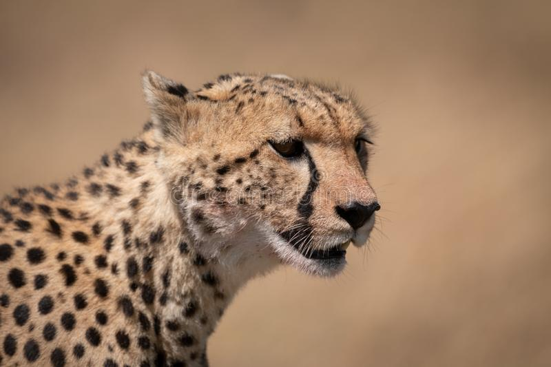 Primer de la cabeza del guepardo con la cara sangrienta imagenes de archivo
