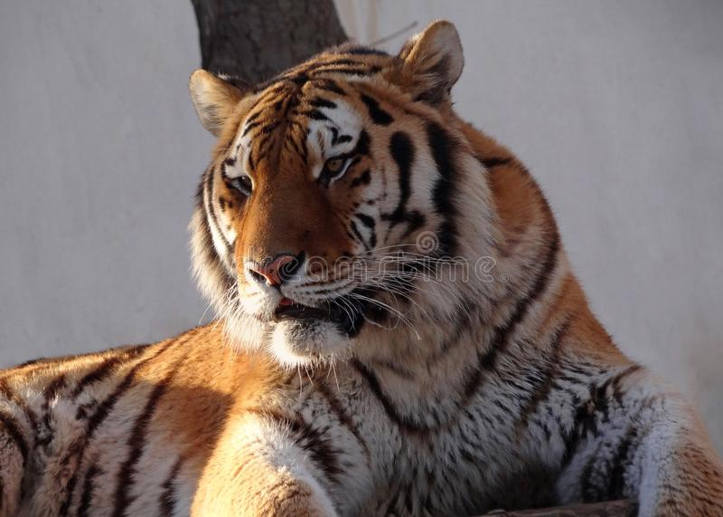 Primer de la cabeza del ` s del tigre siberiano fotos de archivo libres de regalías