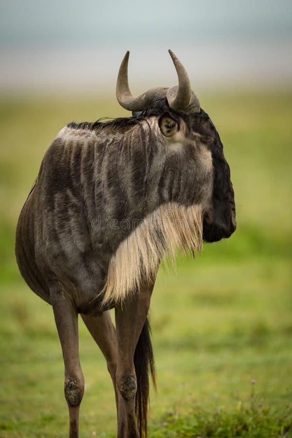 Primer de la cabeza derecha del ñu blanco-barbudo dada vuelta imagen de archivo libre de regalías