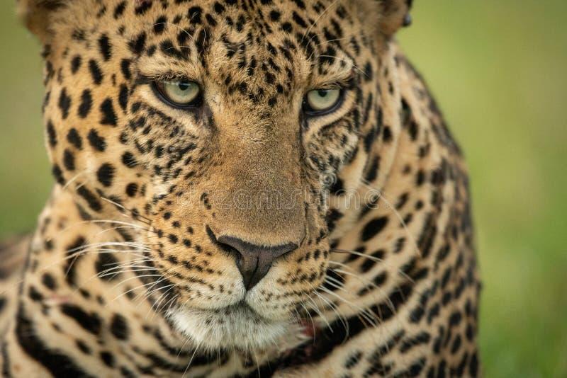 Primer de la cabeza que pesca con caña del leopardo masculino abajo fotos de archivo libres de regalías