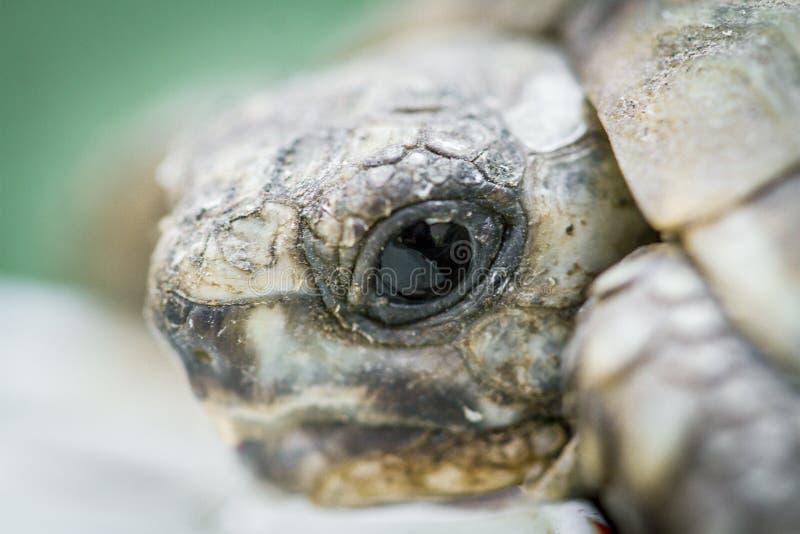 Primer de la cabeza de la tortuga del bebé imagen de archivo libre de regalías