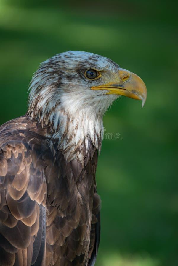 Primer de la cabeza y del cuello del águila calva fotos de archivo