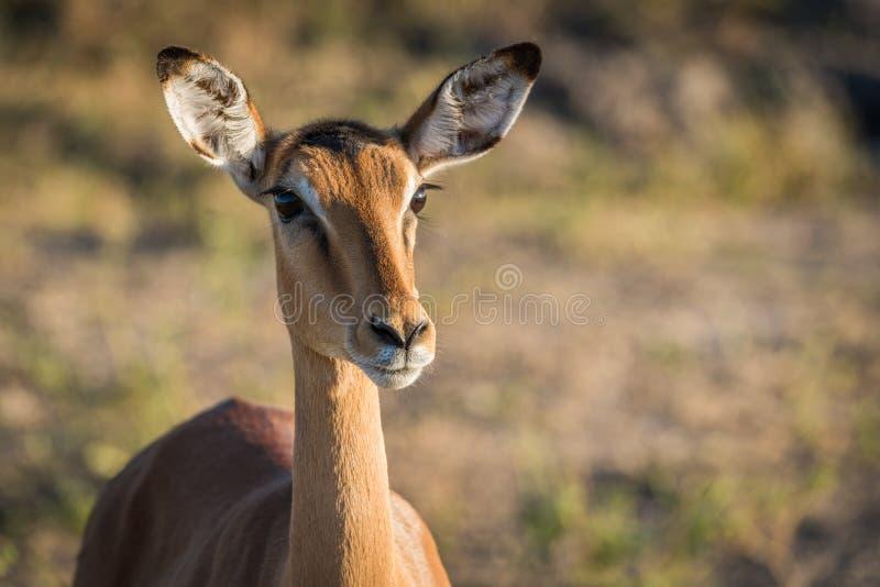 Primer de la cabeza y del cuello femeninos del impala fotos de archivo libres de regalías