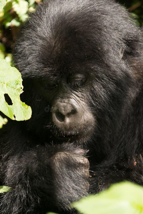 Primer de la cabeza y del puño del gorila del bebé imagenes de archivo
