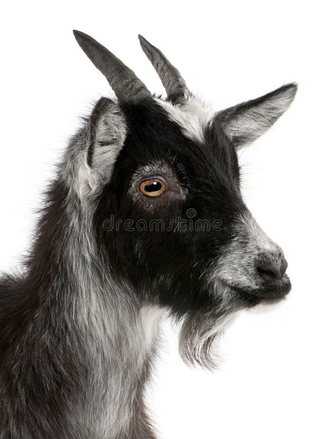 Primer de la cabra común del al oeste de Francia foto de archivo libre de regalías