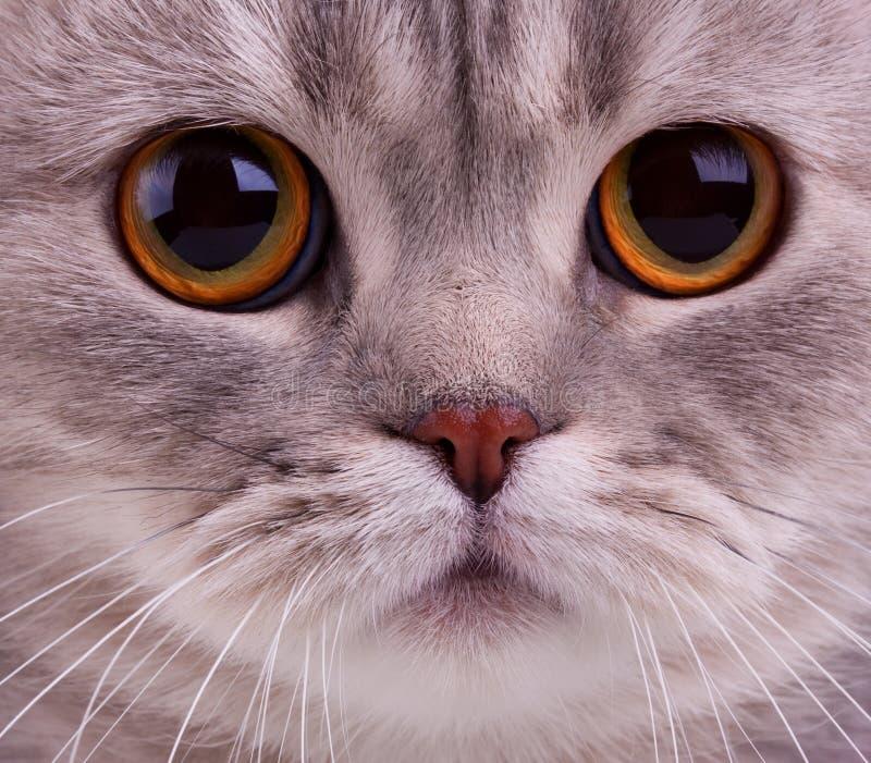 Primer de la cara de los gatos imágenes de archivo libres de regalías