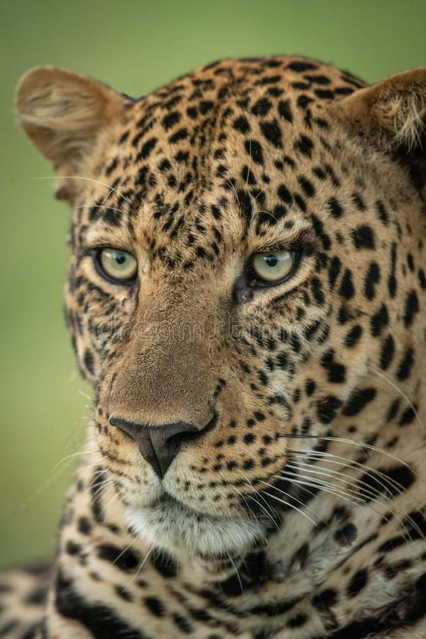 Primer de la cara masculina del leopardo dada vuelta ido fotografía de archivo