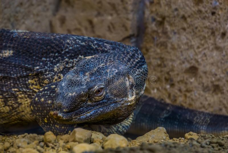 Primer de la cara de un monitor throated negro, lagarto tropical grande de África imagen de archivo libre de regalías