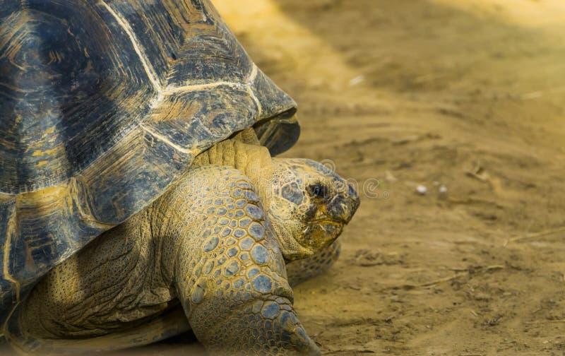 Primer de la cara de una tortuga gigante del aldabra, especie vulnerable del reptil de Madagascar y Seychelles imágenes de archivo libres de regalías