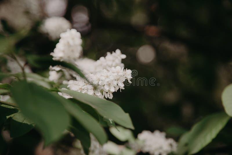 Primer de la cereza de p?jaro con el foco selectivo y la profundidad del campo baja fotos de archivo
