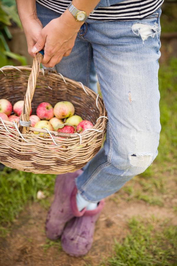 Primer de la cesta del vintage con las manzanas orgánicas en manos del ` s de la mujer Verano de la cosecha del jardín outdoors M fotos de archivo