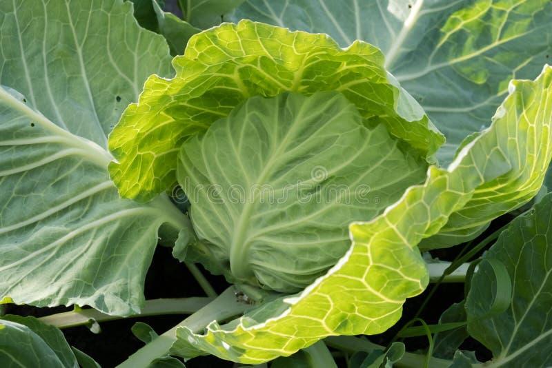 Primer de la col fresca el huerto Verduras orgánicas crecientes Los granjeros producen la col imagenes de archivo