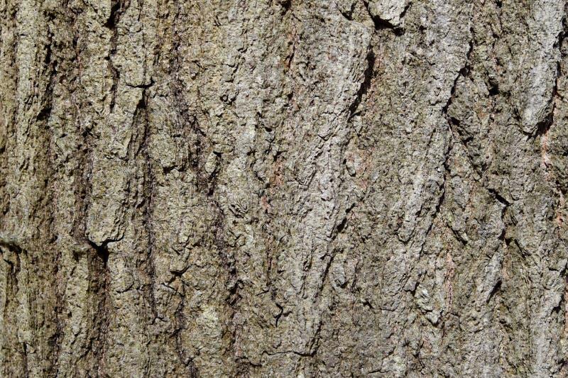 Primer de la corteza áspera de un árbol de cicuta del este maduro fotografía de archivo libre de regalías