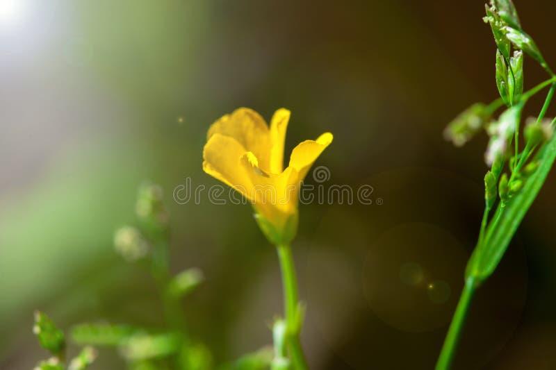 Primer de la flor amarilla de la primavera hermosa con el fondo, la luz suave y la llamarada borrosos de la lente en jardín imagen de archivo
