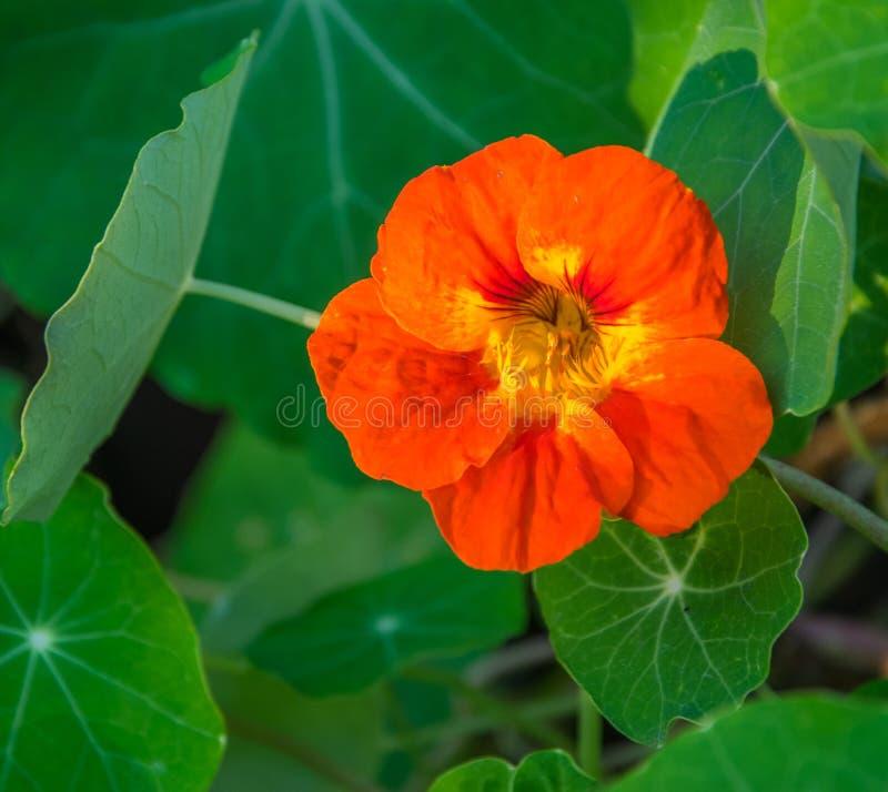 Primer de la flor anaranjada de la capuchina en la floración Primer de florecimiento de la capuchina fotos de archivo libres de regalías