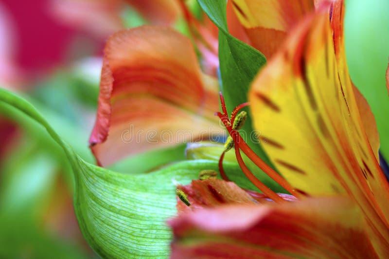 Primer de la flor anaranjada del lirio peruano imagen de archivo libre de regalías