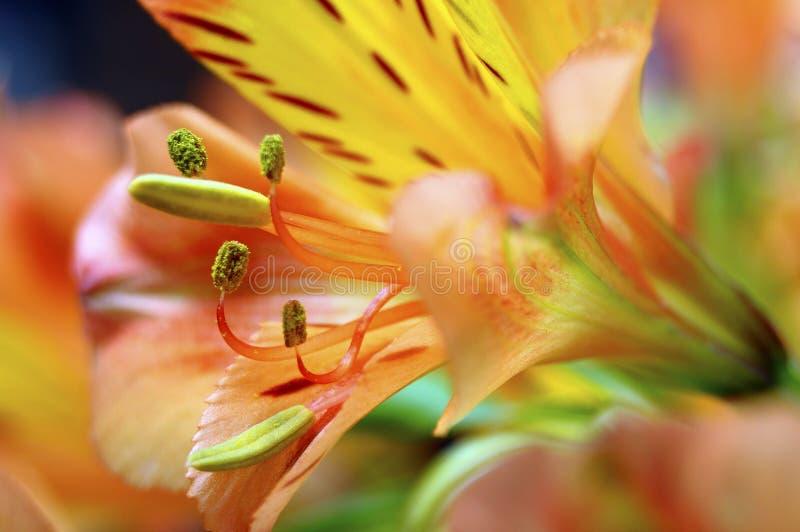 Primer de la flor anaranjada del lirio peruano imágenes de archivo libres de regalías